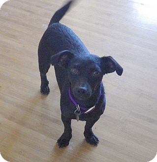 Dachshund/Chihuahua Mix Dog for adoption in Quail Valley, California - Molly
