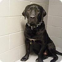 Adopt A Pet :: Dozer - Winnipeg, MB