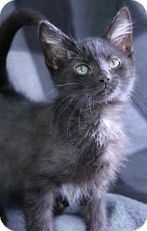 Domestic Mediumhair Kitten for adoption in O Fallon, Illinois - Hazel