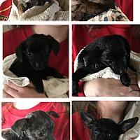 Adopt A Pet :: Puppies - Ridgecrest, CA