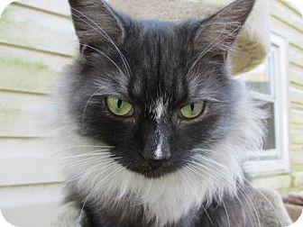 Maine Coon Cat for adoption in Colonial Beach, Virginia - Smokey Joe