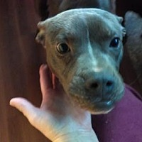 Adopt A Pet :: Boxer Pitbull Mix Sal - Millbrook, NY