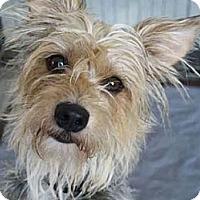 Adopt A Pet :: ABBEY - Mission Viejo, CA