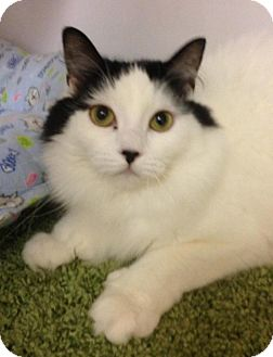 Domestic Longhair Cat for adoption in Atco, New Jersey - Stephanie