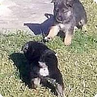 Adopt A Pet :: G. SHEP PUPPIES - Winnetka, CA