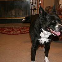 Border Collie/Boston Terrier Mix Dog for adoption in Westmoreland, Kansas - Sparky