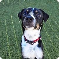 Adopt A Pet :: Mushu - Austin, TX
