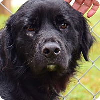 Adopt A Pet :: Mulligan - Cheshire, CT