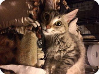 Siamese Cat for adoption in Tracy, California - Ritz