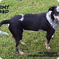 Bluetick Coonhound Dog for adoption in Spring, Texas - Remy