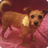 Adopt A Pet :: Pooh Bear - Greenville, SC