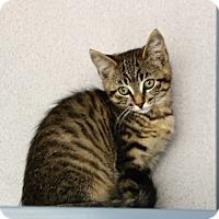 Adopt A Pet :: Kittens - Gardnerville, NV