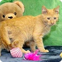Domestic Shorthair Kitten for adoption in South Bend, Indiana - Happy Pappy