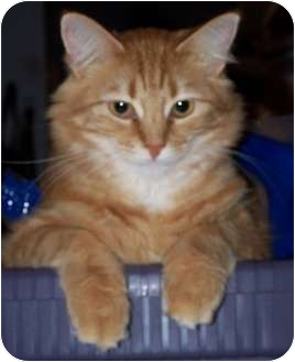 Domestic Longhair Cat for adoption in North Highlands, California - Roxi