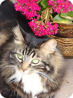 Maine Coon Cat for adoption in Laguna Woods, California - Sofia