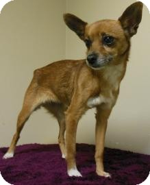 Chihuahua Mix Dog for adoption in Gary, Indiana - Marty