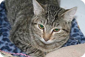 Domestic Shorthair Cat for adoption in Colorado Springs, Colorado - Huck