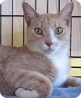 Domestic Shorthair Cat for adoption in Seminole, Florida - Charlie