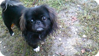 Pekingese Mix Dog for adoption in Waldorf, Maryland - Romeo