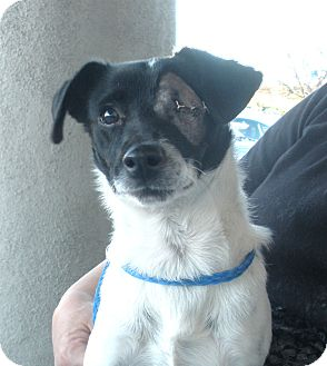 Freckles | Adopted Dog | Santa Ana, CA | Jack Russell ...