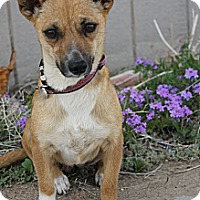 Adopt A Pet :: Crystal - Fountain, CO