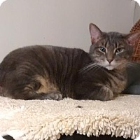 Domestic Shorthair Cat for adoption in Westville, Indiana - Enzo