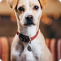 Adopt A Pet :: Scout - Portland, OR