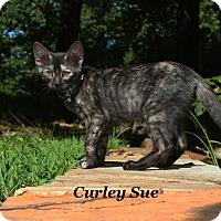 Adopt A Pet :: Curley Sue - Bentonville, AR