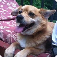Corgi/Finnish Spitz Mix Dog for adoption in Laconia, Indiana - Charlie