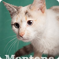 Siamese Cat for adoption in Salem, Ohio - Montana