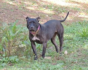 Pit Bull Terrier Dog for adoption in Brentwood, Tennessee - Baby