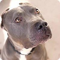 Adopt A Pet :: Magnus - Santa Monica, CA