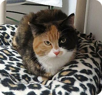 Calico Cat for adoption in Lakewood, Colorado - Enya