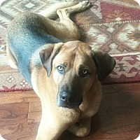 Adopt A Pet :: Bo (Shepherd) - Kennesaw, GA
