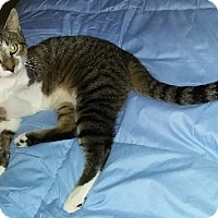 Domestic Shorthair Cat for adoption in Parkton, North Carolina - Limpy