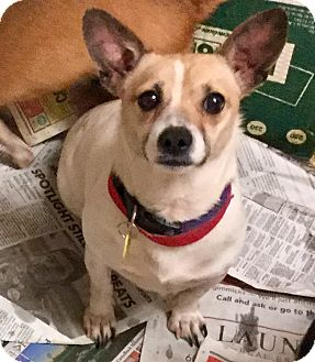 Jack Russell Terrier/Chihuahua Mix Dog for adoption in Phoenix, Arizona - Little Man