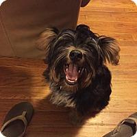 Yorkie, Yorkshire Terrier/Chihuahua Mix Puppy for adoption in West Warwick, Rhode Island - Annabelle in Rhode Island