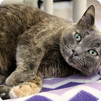 Domestic Shorthair Cat for adoption in Sarasota, Florida - Tabitha