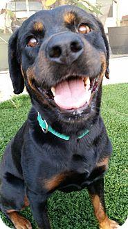Rottweiler Dog for adoption in Seffner, Florida - Honey