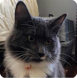 Domestic Mediumhair Cat for adoption in Mebane, North Carolina - Joe