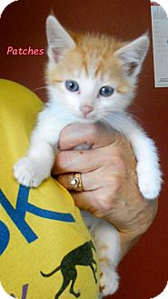 Domestic Mediumhair Kitten for adoption in Oskaloosa, Iowa - Patches