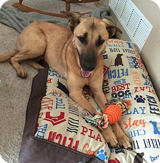 German Shepherd Dog/Labrador Retriever Mix Dog for adoption in Cedar Rapids, Iowa - Jude aka Shadow