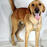 Adopt A Pet :: Frodo Lab - St. Louis, MO