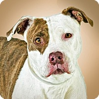 American Staffordshire Terrier Mix Dog for adoption in Prescott, Arizona - Delilah