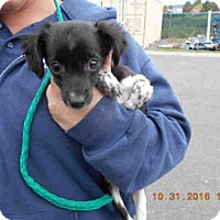 Adopt A Pet :: A571459 - Oroville, CA