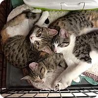 Adopt A Pet :: Sabrina - West Dundee, IL