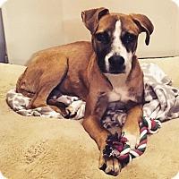 Adopt A Pet :: Josey - Aiken, SC