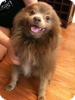 Pomeranian Mix Dog for adoption in Phoenix, Arizona - Nico