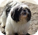 Shih Tzu Dog for adoption in Tinton Falls, New Jersey - Mona