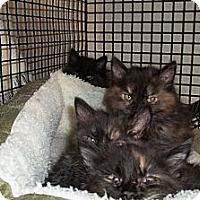 Adopt A Pet :: Justin's Kittens-Black - Acme, PA